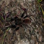 Resident Tarantula