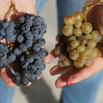 minha esposa segurando cachos de uvas do local