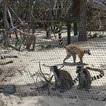 Lemurs on Necker Island