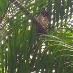 Mottled Owl roosting