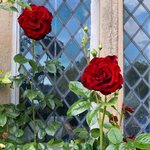 Red Rose in front of window