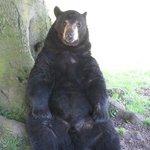 cheeky bear at Woburn Safari Park