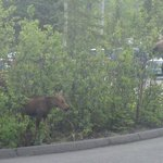 Moose with 2 calves in parking lot of bus and shuttle stop