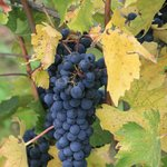Chianti Classico wine harvest produced by the owners