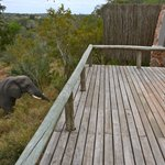 An elephant visits.