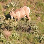 Bighorn Sheep on Eco-Tour