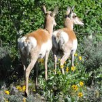 Pronghorn Antelope on Eco-tour