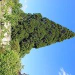 the huge Secoya tree in the garden