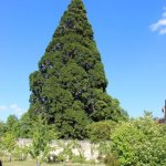 the huge Secoya tree in the garden