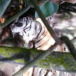 Recently deceased tiger, staff didn't care.