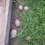 Les bébés tortue du jardin!