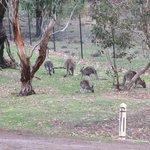 Kangaroos everywhere