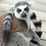Lemur Walk Through Enclosure