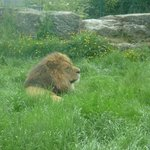 Lion Enclosure (He was being Lazy, we went twice and I dont think he had moved)