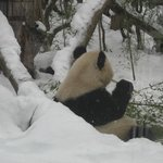 Панда обиделась