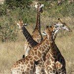 great giraffe pic
