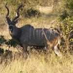 big buck kudu