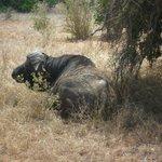 Büffel am Camp