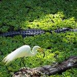 Egret eating fish next to alligator