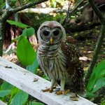 Baby Barred Owl next to us on boardwalk