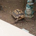 The Garden Turtle.