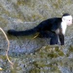 Lots of white-faced monkeys around