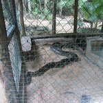 And this is a SHORT Burmese Python