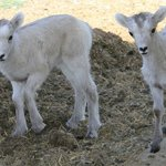 Dall sheep lambs on June 1st.