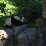 Panda sleeping. Shh!