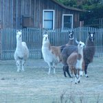 View of the llamas from our deck