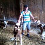 Las vaquitas de la granja