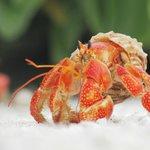 Bright hermit crab.