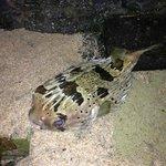Мертвая рыба фугу, после шторма выбросило