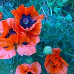 Poppies in front garden