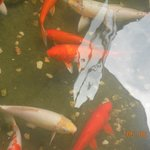 Koi carp in water outside,,,nice feature