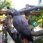 african grey at chikki tiki