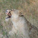 Lion, close to lodge