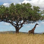 Giraffe standing majestically under the Oldarpoi tree- African sausage tree
