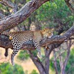 Leopard seen on game drive and photographed by one of our guides ,Dan Galati !