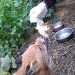 feeding a fox!