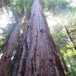 """Classic """"Big Tree"""" pic"""