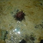 Red sea urchin saw while snorkeling on Cayman Brac around pier at Carib Sands