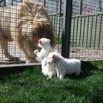 white lions at zoodoo