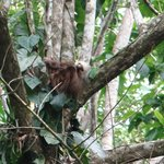 Sloth in tree outside our casa