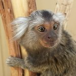 marmoset monkey at zoodoo