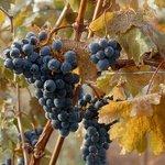 Cabernet Franc just prior to harvest.
