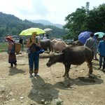 We are not buying that Bullock (Bac Ha market)