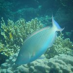 A long nosed indian parrotfish