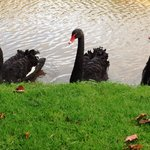 Austrilian Black Swans swim in the Moat