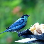 Black-capped Tanager at feeder